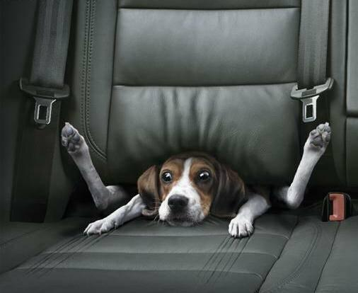 Image result for dogs in cars